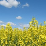 Canola Oil: Healthy Oil or Pesticide? *UPDATED*