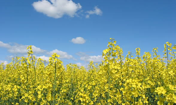 canola flower garden - photo #38