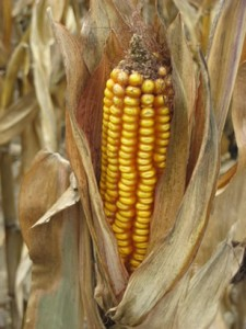 The History of Corn & Vitamin B Deficiency (Pellagra)